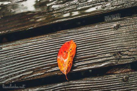 Great Swamp Wildlife Refuge orange leaf on the boardwalk