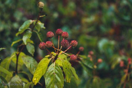 Great Swamp Wildlife Refuge bumpy red fruit