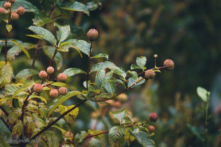 Great Swamp Wildlife Refuge bumpy unripe fruit
