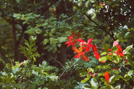Great Swamp Wildlife Refuge bright red leaves